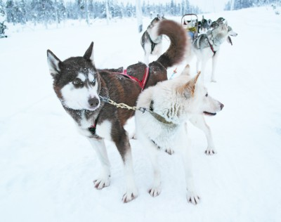 Mon voyage en Laponie : mon incroyable expérience en chiens de traîneaux