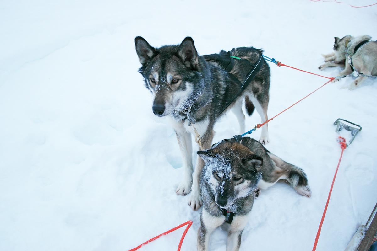 la-coutch-blog-lifestyle-voyage-finlande-laponie-ride-huskies5