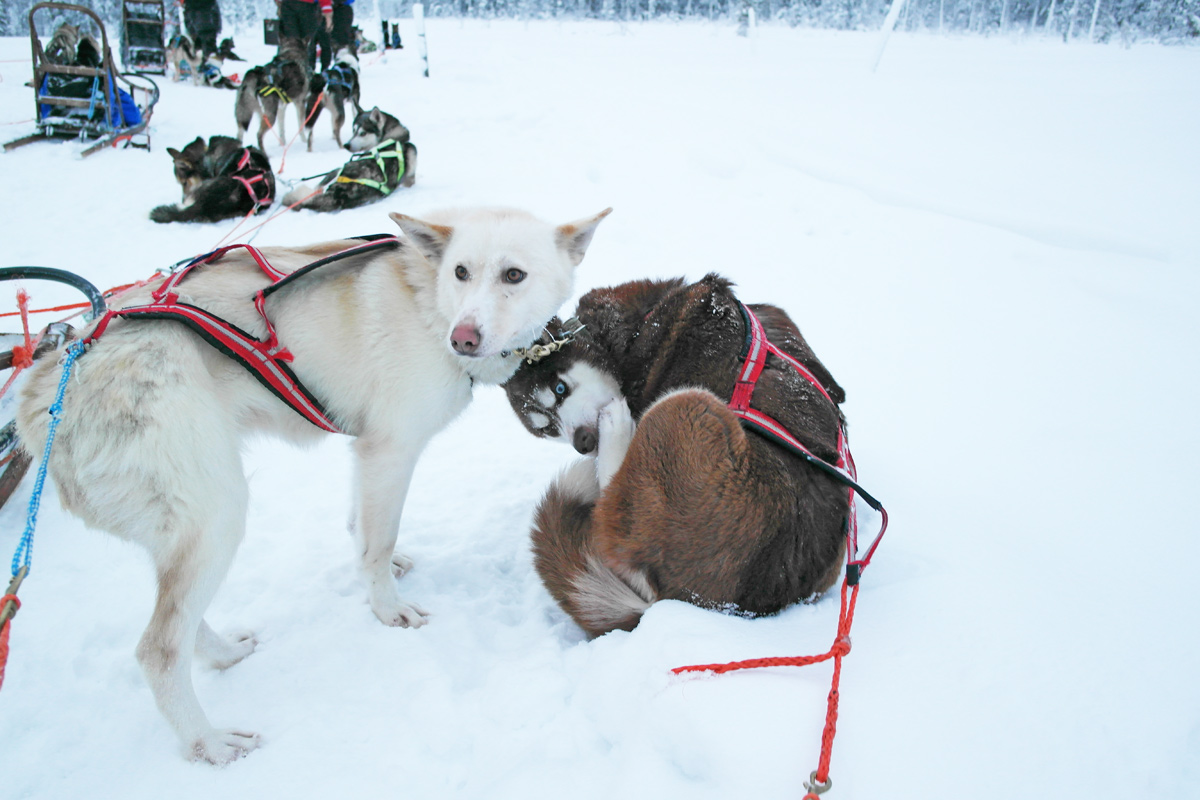 la-coutch-blog-lifestyle-voyage-finlande-laponie-ride-huskies8