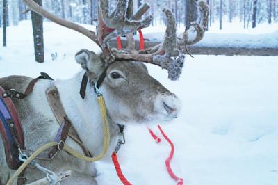 Mon voyage en Laponie : un tour en renne s'il vous plaît !